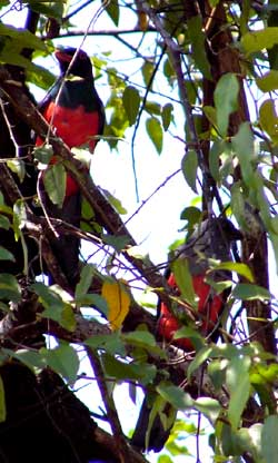 Trogons of Costa Rica