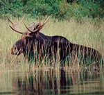 The Moose in East Canada